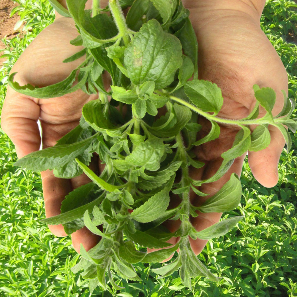 stevia blätter kaufen blaetter blatt stevia group bio organic steviapura_montage 72ppi