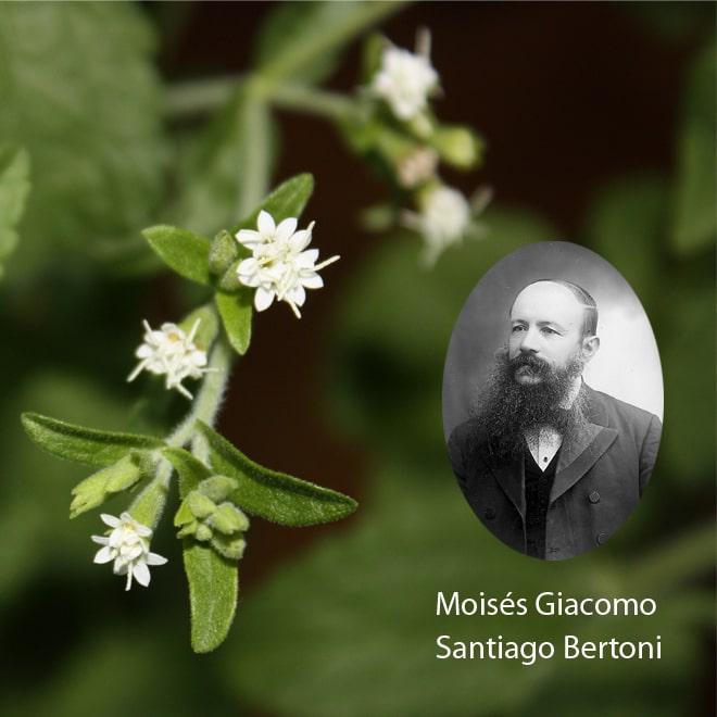 Ursprung der Stevia Pflanze