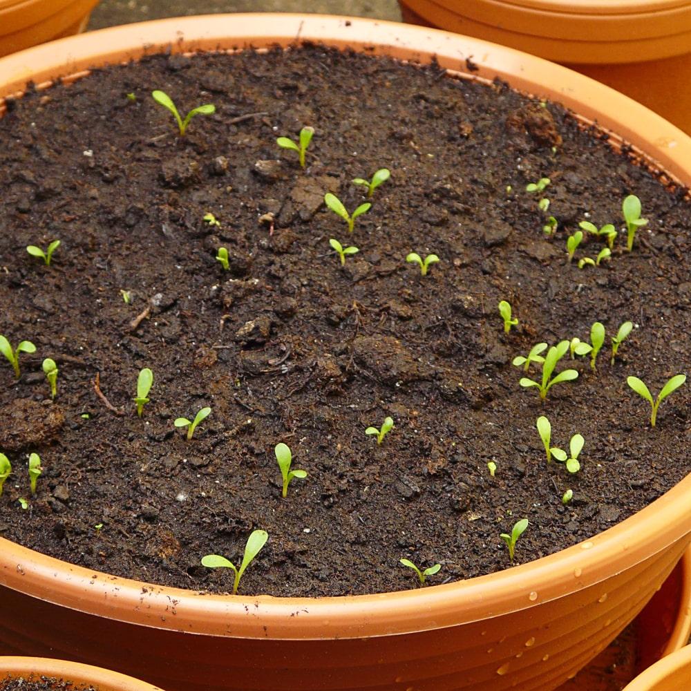 Kleine Stevia Keimlinge im Topf