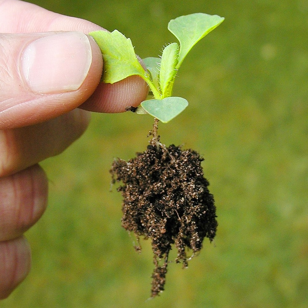 Kleine Stevia Pflanze, Setzling in den Fingern