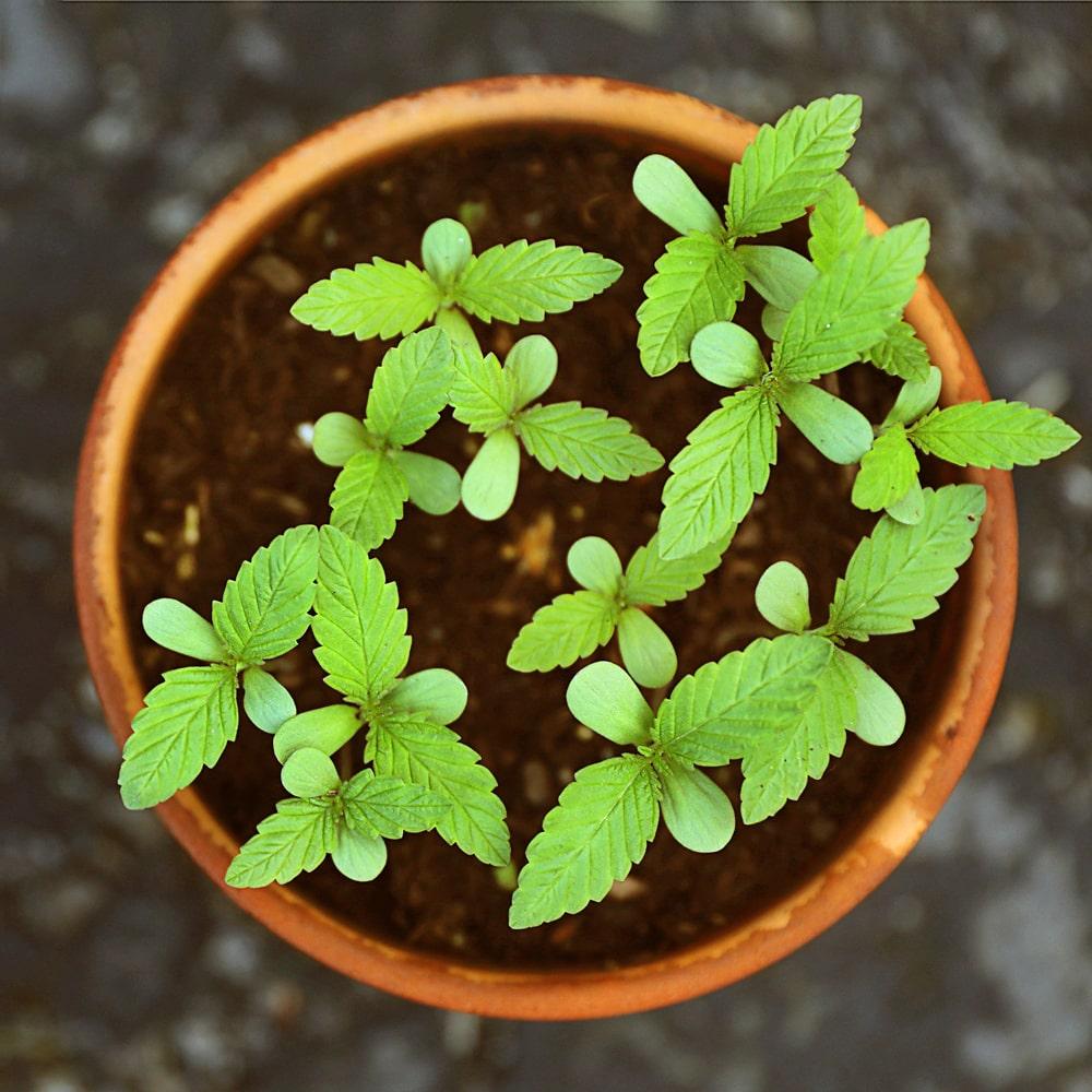 Kleine Stevia Pflanzen nach der Aussaat im Topf