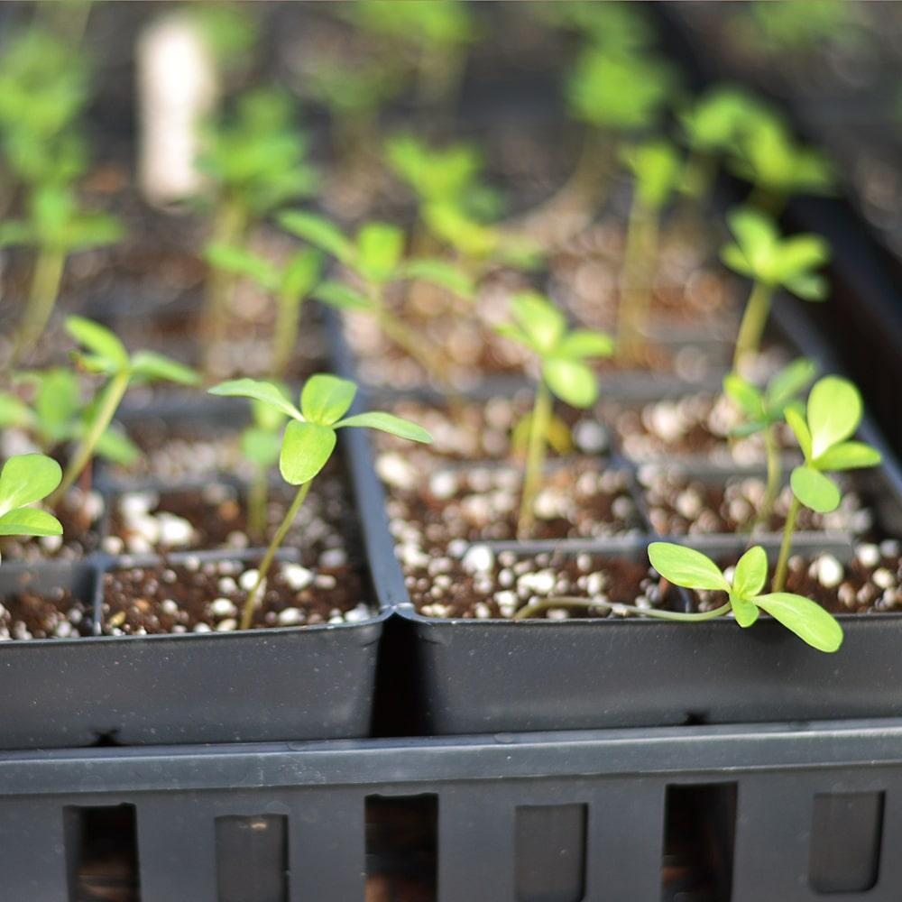 Pikierte Stevia Setzlinge in Containern