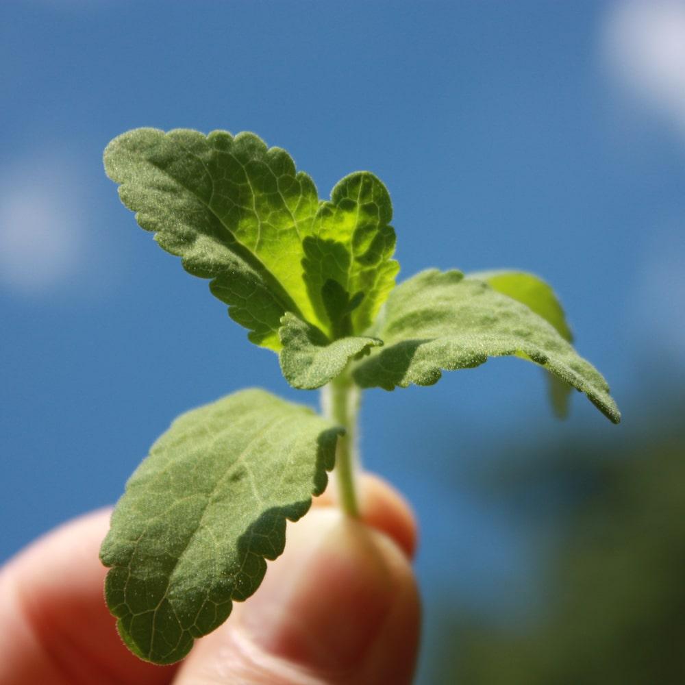 Ein Sprössling einer jungen Stevia Pflanze.