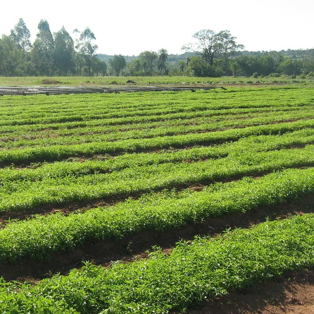 Stevia Anbau auf einem Feld in Spanien.