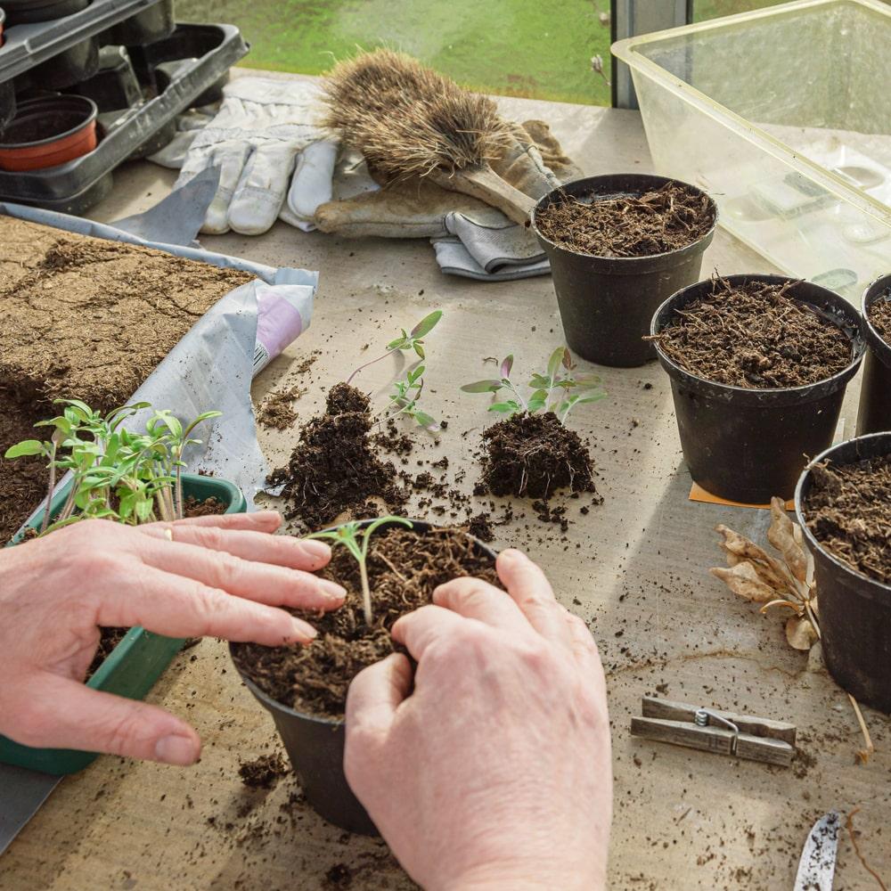 Stevia Keimlinge pikieren und in Töpfe pflanzen