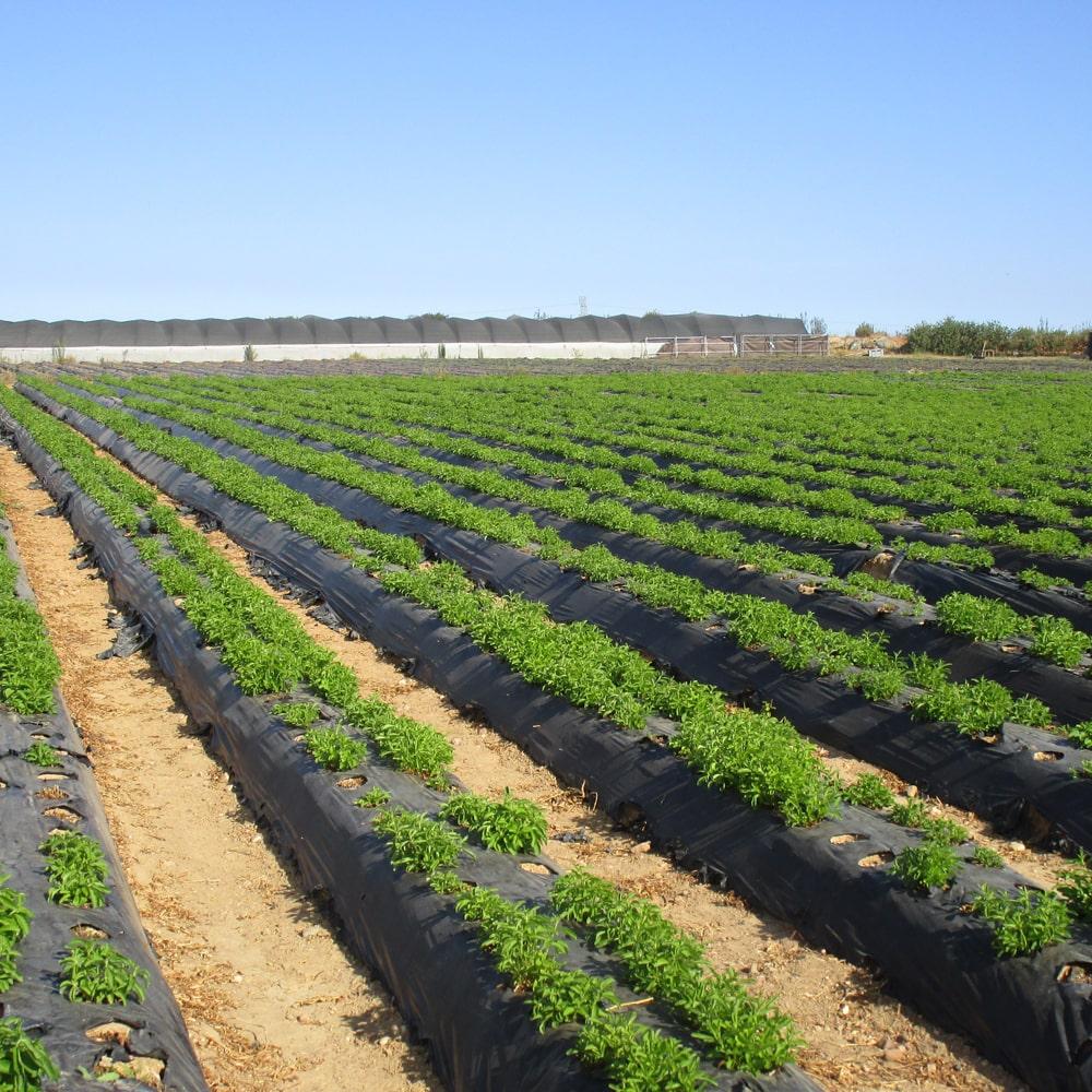 Stevia Plantage mit jungen Stevia Pflanzen.