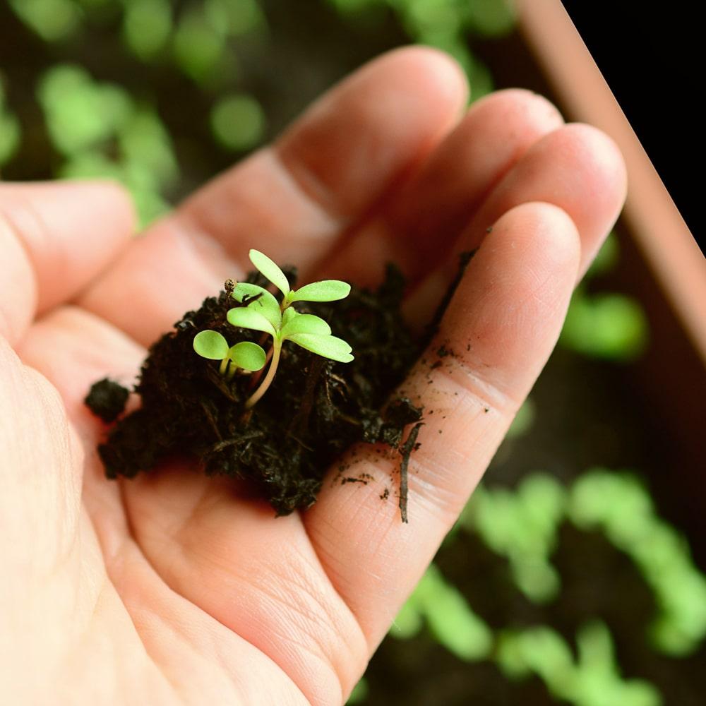 Stevia Setzlinge in der Hand