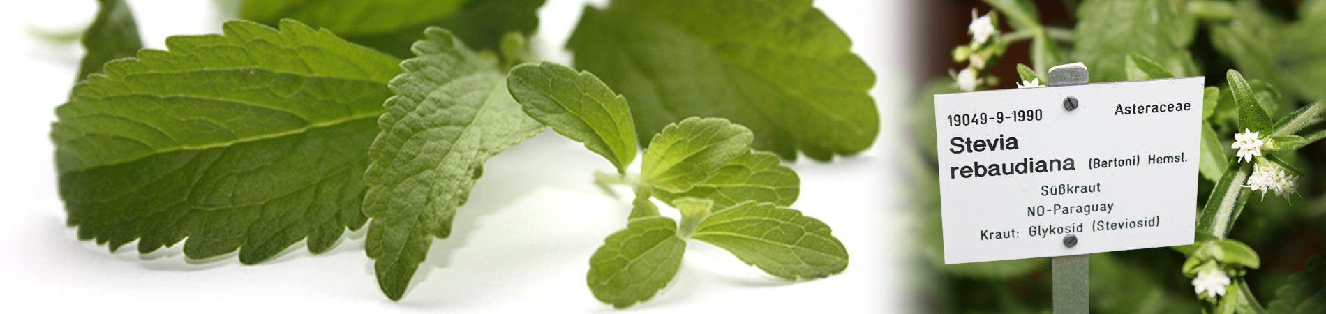 The home of the Stevia plant is Paraguay. Stevia rebaudiana is the botanical name and the plant is also called sweet leaf