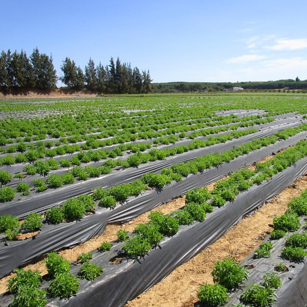Junge Stevia Plantage | Anbau in Portugal.