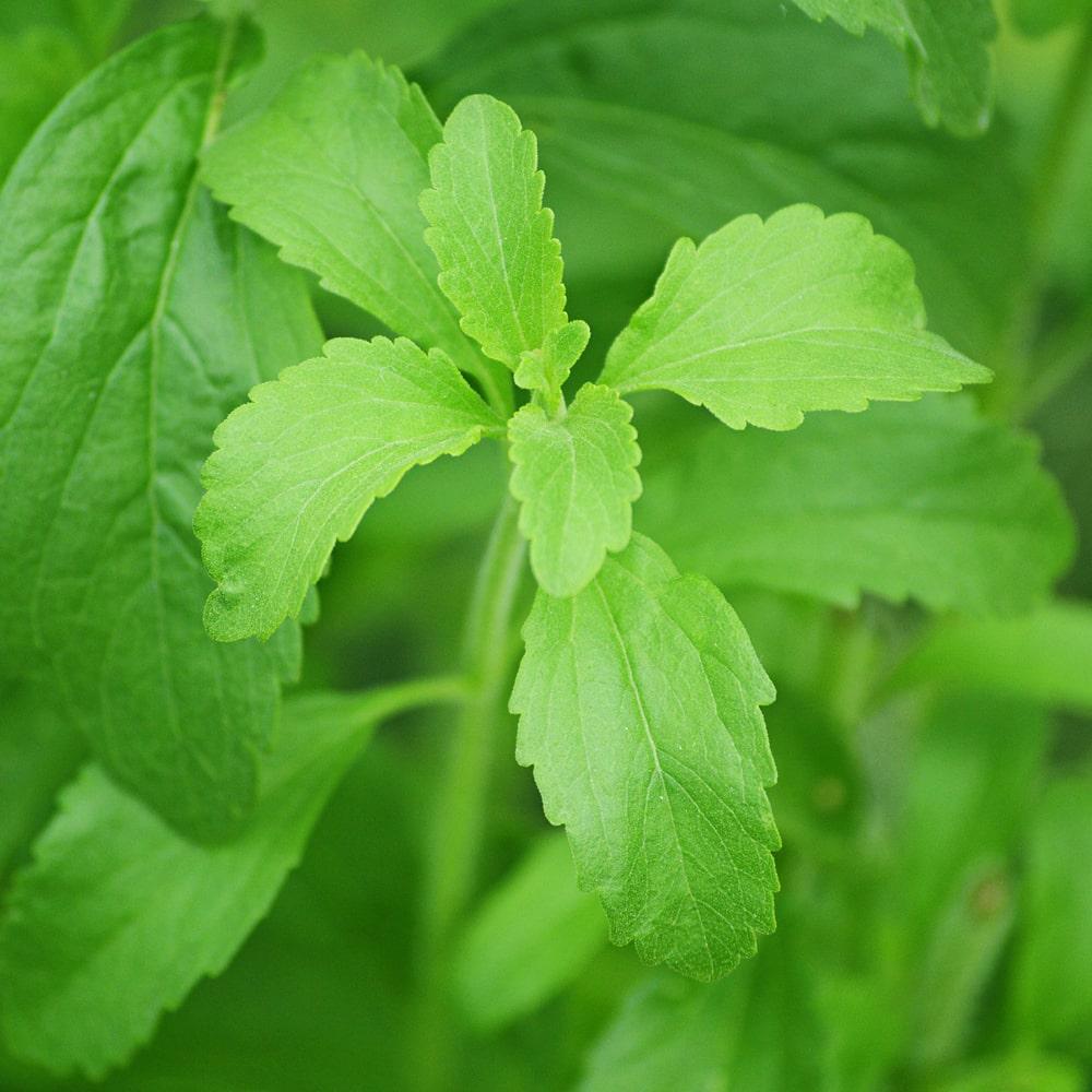Die Stevia Pflanze.